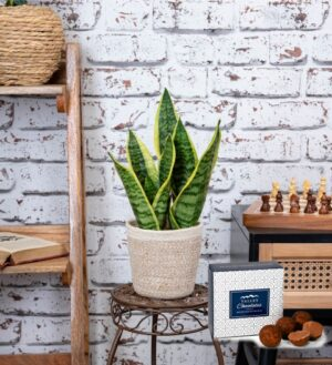 Sensational Sansevieria - Snake Plant - Indoor Plants - Houseplants - Plant Gifts - Plant Gift Delivery